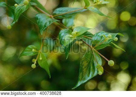 Young Dogwood Or Cornus Mas Plant In Garden.