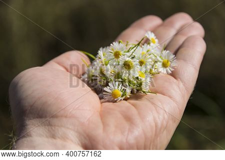 Small Field Daisies In A Mans Hand. Mans Palm With Chamomiles On Sunny Summer Day. Collecting Pharma