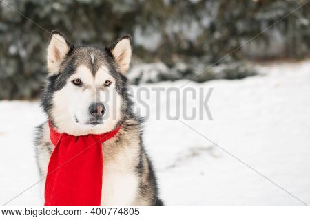 Sitting Alaskan Malamute In Red Scarf In Winter Forest. Close Up.