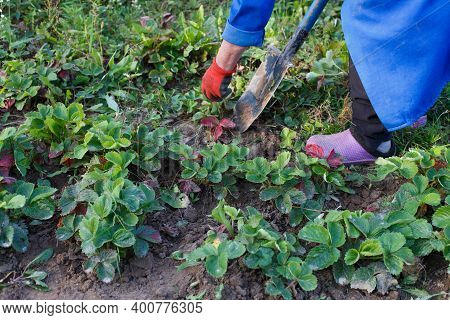 Woman Weed The Weeds Of Strawberry In Field, Work Process