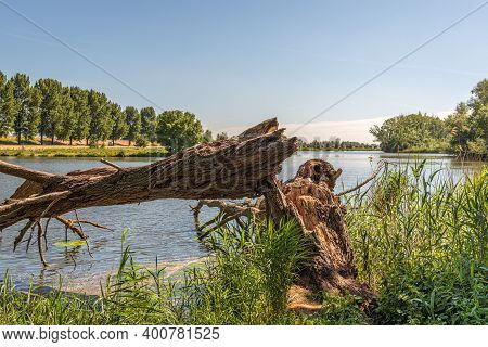 A Rotten Tree Growing Between Reed Plants On The Edge Of A Lake Has Broken Off And Fell Into The Wat