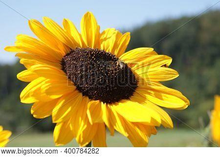 Blühte Einer Sonnenblume Mit Einer Biene Im Hintergrund Der Blaue Himmel