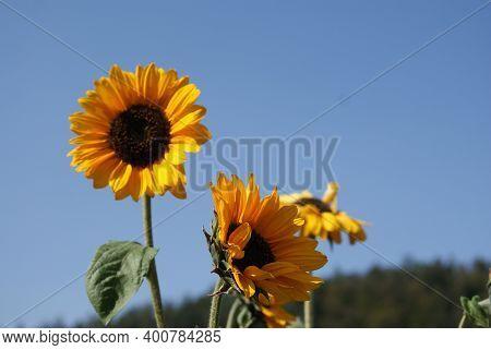 Sonnenblumen In Voller Blüte Im Hintergrund Der Blaue Himmel