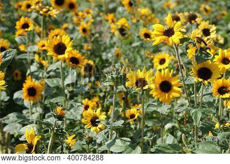 Sonnenblumen Feld Mehrere Sonnenblumen In Voller Blütenpracht