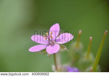 Lilac Flower Of Erodium Malacoides. Munilla, La Rioja.