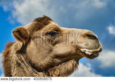 Camel At Zoo With Foam At Mouth. Animals Suffer In Zoo And Get Sick. Funny Camel