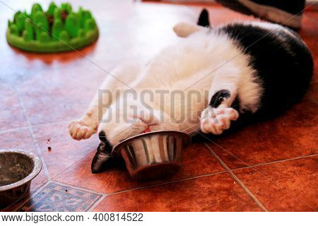 Cat Plays With His Food Bowl. Cute Little House Cat. Pet Animals. Domestic Animals.