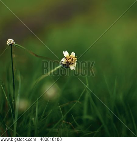 Tridax Procumbens Has Been In Use In India For Wound Healing And As An Anticoagulant, Antifungal, An