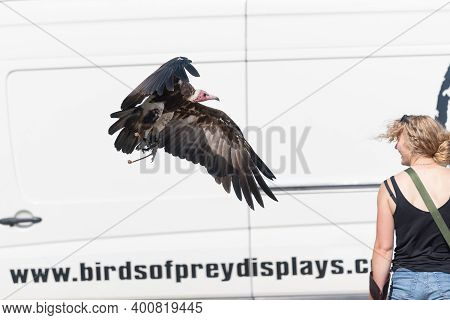 Blandford Forum.dorset.united Kingdom.august 24th 2019.a Hooded Vulture (necrosyrtes Monachus) Is Be