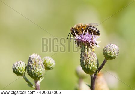 A Bee On A Pink Thorny Flower And Collects Noctar. Close-up Macro Of Thorny Purple Thistle And Bee B