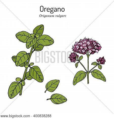 Kitchen Herbs And . Oregano Origanum Vulgare. Hand Drawn Botanical Vector Illustration