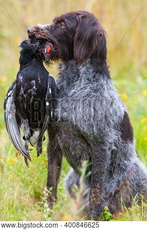 Gun Dog - German Wirehaired Pointer Holds A Downed Wildfowl (black Grouse Cock) In Its Teeth During