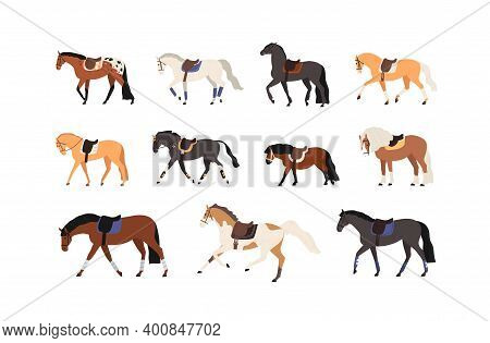 Collection Of Horses And Pony Standing And Moving Vector Flat Illustration. Set Of Gorgeous Groomed