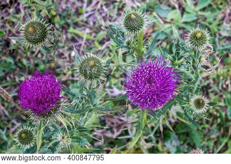 Beautiful Purple Thistle Flower.  Burdock Flower Spiny Close Up. Flowering Medicinal Plants Are This