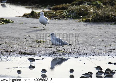 A Ring-billed Seagull Walking On The Tidal Flat.   Bc Canada