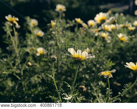 Beautiful White Camomiles Daisy Flowers Field On Green Meadow. Marguerite Flowers