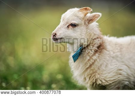 Young Ouessant Sheep Or Lamb With Blue Tag Around Neck, Grazing On Green Spring Meadow, Closeup Deta
