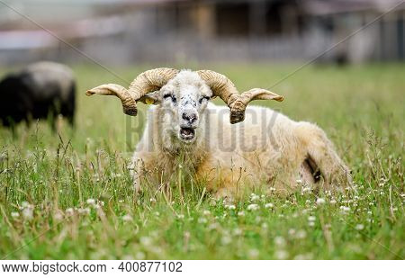 Sheep With Twisted Horns, Traditional Slovak Breed - Original Valaska Resting In Spring Meadow Grass