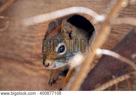American Red Squirrel Tamiasciurus Hudsonicus Closeup Detail Only Her Head Out From Small Wooden Hou