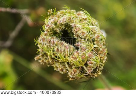 Wild Carrot Seeds. The Flowering Time Of Wild Carrots Is When Seeds Are Formed That Have Sharp Hooks