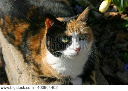 Closeup Of A Gorgeous And Beautifully Multicolored Adult Calico Cat