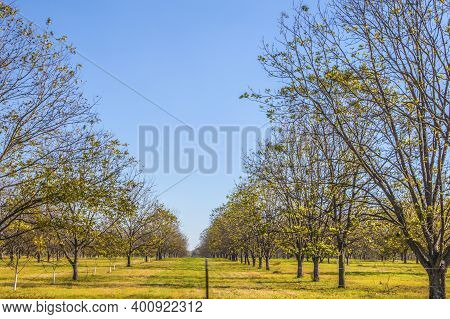 Path Between Young Pecan Trees Behind A Fence On A Pecan Tree Orchard In The South