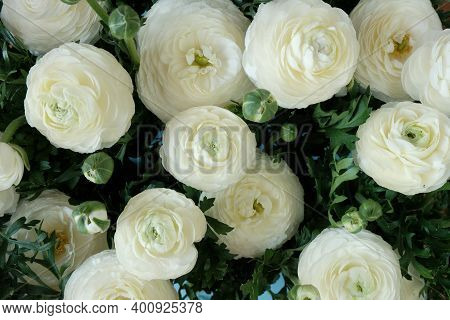 White Ranunculus Background. White Buttercups Flower.spring White Flowers Background. Floral Card In