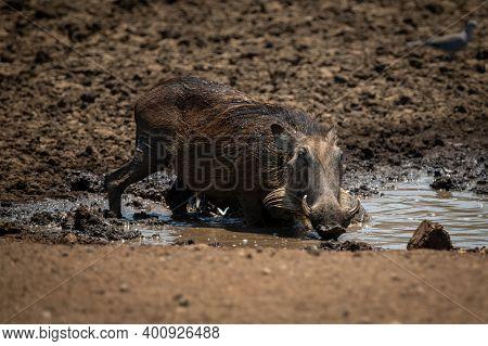 Common Warthog Kneels In Mud At Waterhole