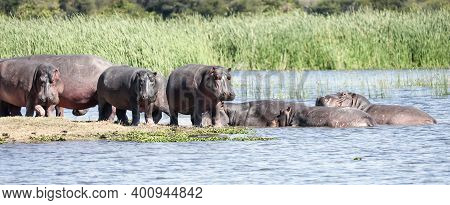 A Herd Of Uneven-aged Hippos Sunbathe And Digest Their Food On A Sandy Island. Wild Hippos Rest On T