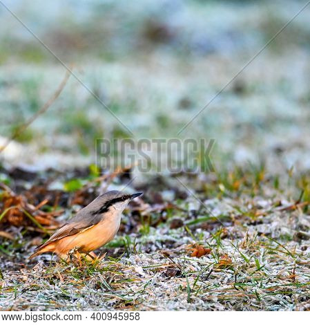 Nuthatch Standing On Frozen Grass In A Garden