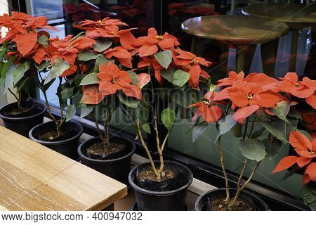 Red Poinsettia Flower Interior Decoration, Stock Photo