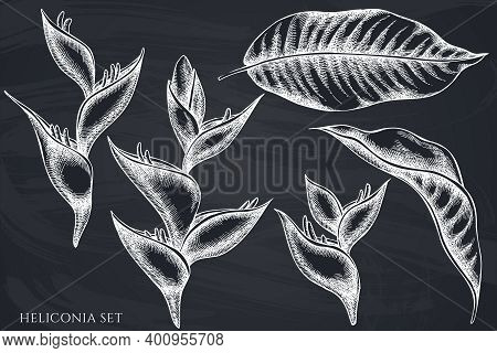 Vector Set Of Hand Drawn Chalk Heliconia Stock Illustration