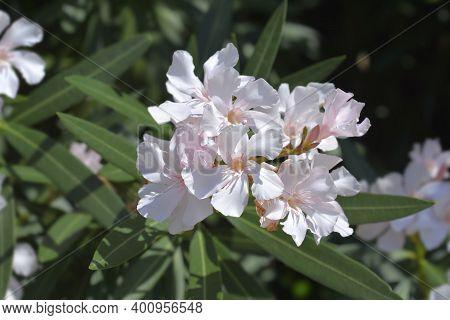 Common Oleander Pale Pink Flowers - Latin Name - Nerium Oleander