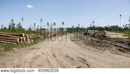Sanitary Felling Of Trees Infected With Eight Teeth-typographus (ips Typographus). Moscow Oblast. Ru