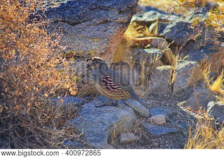 Gambels Quail, Callipepla Gambelii, Running And Foraging In A Flock, Convey Or Bevy, With Male And F