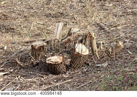 Cut Down And Chopped Down Trees With Multiple Tree Stubs Left In Field Covered With Small Branches A