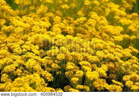 Field Full Of Densely Planted Basket Of Gold Or Aurinia Saxatilis Or Goldentuft Alyssum Or Golden Al