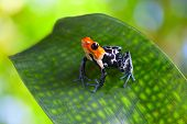 poison arrow frog ranitomeya fantastica of tropical Amazon Rain forest in Peru poisonous animal with warning colors poster