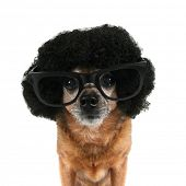 a chihuahua with an afro wig and glasses on poster