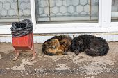 Stray dogs sleeping on the ground in Samara, Russia poster