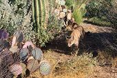 Arizona Bobcat prowling through it's natural desert habitat looking for diner. poster