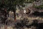 Bighorn ram in grass next to mountains poster