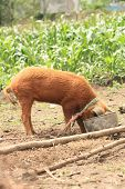 A female brown pig with its heads in a slop bucket on a farm in Cotacachi, Ecuador poster