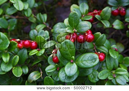 Red Whortleberry