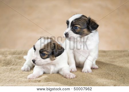 Two Cute Little Puppy Papillon On A Beige Background