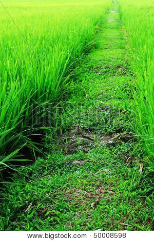 Walkway In Paddy Field