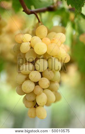 Ripe grapes in closeup