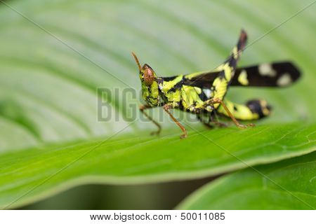 Tropical cricket living in east Asia standing on a leaf
