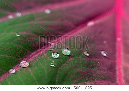 Backgorund macro shot of drops on Caladium leaf