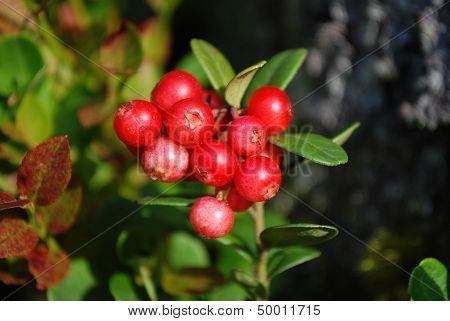 The ripe berries of cowberries.